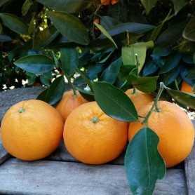 Orangen Große 20kg