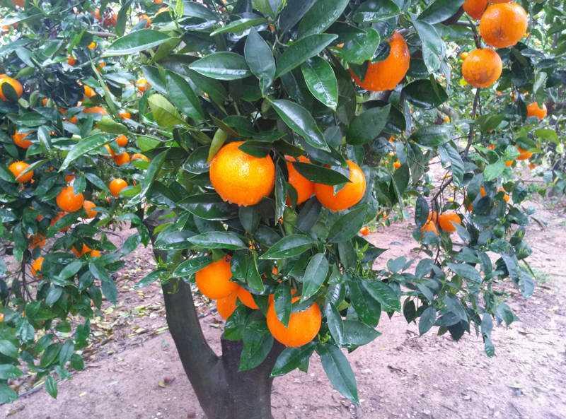 Campo naranjas julian