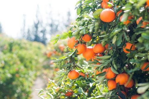Fotografía de naranjas valencianas
