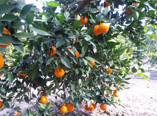 campo oranjas julian
